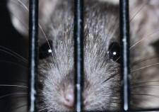 szczur zwalczanie
